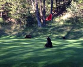 Bear with flagstick