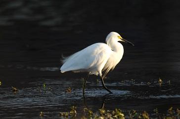 Westchase Golf Club snowy egret