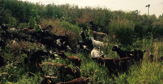 BCDN Goats