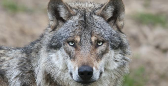 WolfGaming